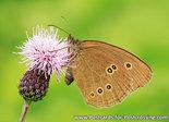 Postcard Ringlet butterfly