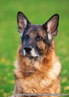 Postcard German Shepherd dog