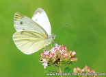 Cabbage White Butterfly postcard
