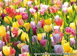 Tulipfieldcard