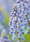 Grape hyacinthcard