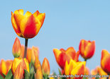 Red-yellow tulips postcard