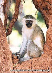 Vervet monkey postcard