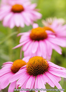 Coneflower Flower postcard