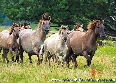 Konik horses postcard