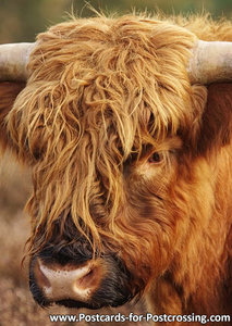 Scottish Highlander postcard