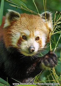 Little panda postcard