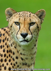 Postcard Cheetah