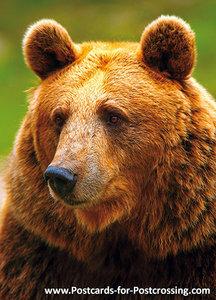 Kodiak bear postcard