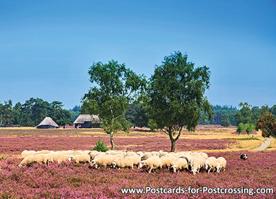 Sheep on the moor postcard