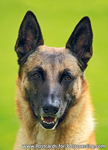 Postcard Belgian Shepherd dog
