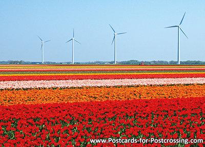 Postcard tulips with windmills