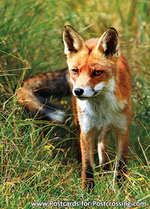 Fox postcard (Vulpes vulpes)