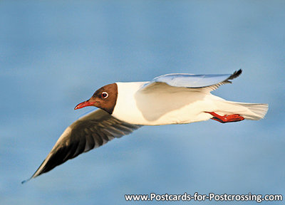 Black headed gull postcard