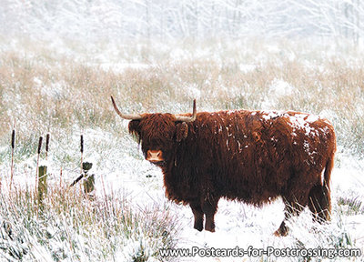 Highland cattle postcard
