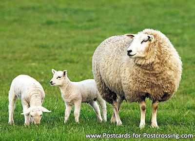 Sheep with lambs Postcard