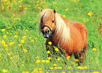 Shetlandpony postcard