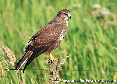 Common buzzard postcard