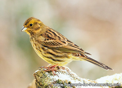 Yellowhammer postcard
