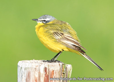 Western yellow wagtail postcard