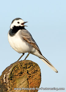 White wagtail postcard