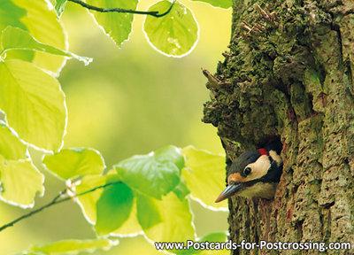 Great spotted woodpecker postcard