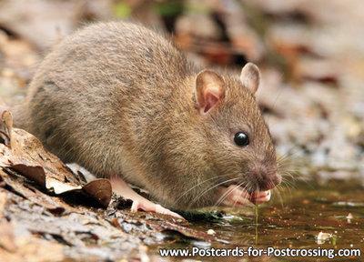 Postcard rat