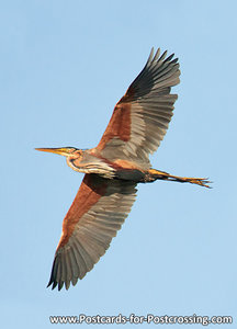 Purple heron postcard