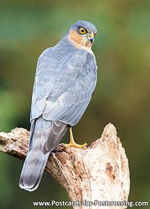 Sparrow hawk postcard
