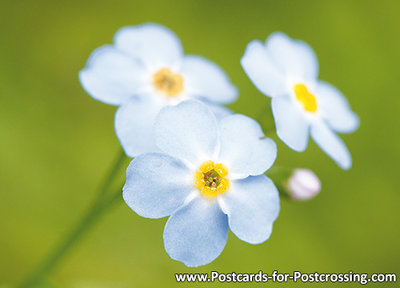 Field forget-me-not postcard