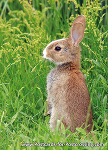 European rabbit postcard