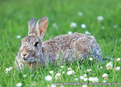 Postcard European rabbit