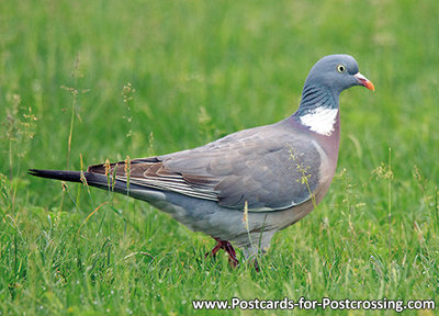 Postcard Common wood pigeon