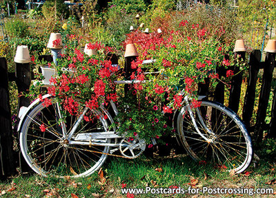 Bicycle postcard with geraniums