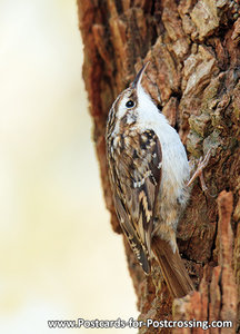 Short-toed treecreeper postcard