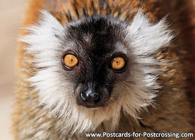 Black lemur postcard
