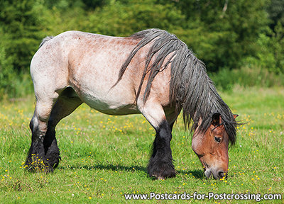 Belgian horse card / postcard