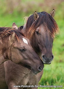 Konik horses card / postcard