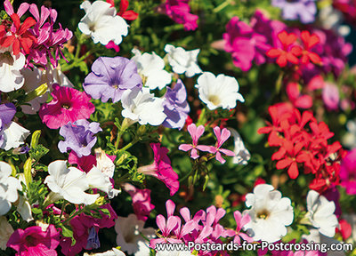 Flower box with geraniums and Petunias postcard