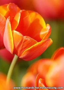 Red tulip postcard
