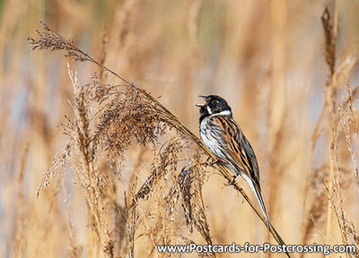 Common reed bunting postcard (0581)