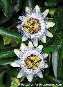 Passionflower postcard
