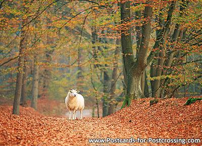 Autumn postcard - sheep