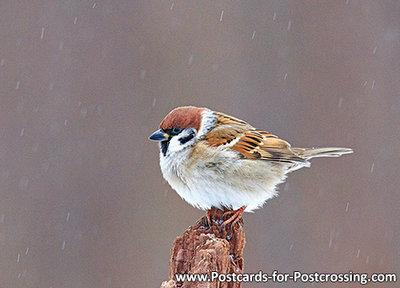 Eurasian tree sparrow postcard