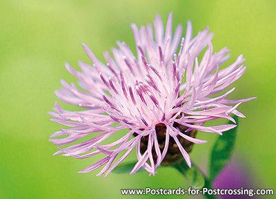 Brown knapweed postcard