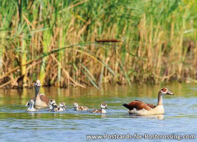 Egyptian geese postcard