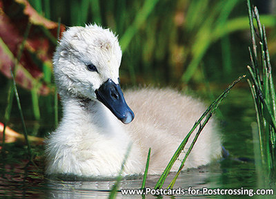 Young Mute swan postcard