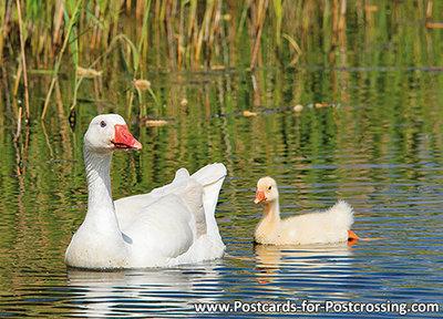 Domestic goose postcard