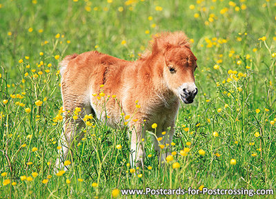 Foal postcard
