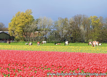 Tulip field with cows